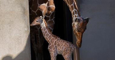 Caldwell Zoo Giraffe