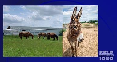 Horses And Donkeys Up For Adoption