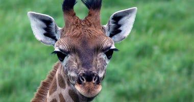 Baby Giraffe - File Photo