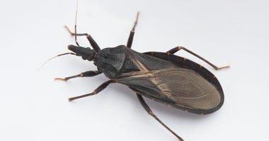 Assassin bug, kissing bug