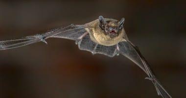 Flying Pipistrelle bat