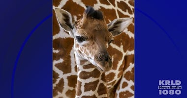 Kendi giraffe