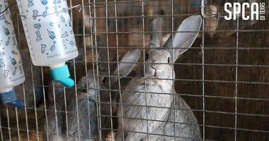 SPCA Rabbit Rescue