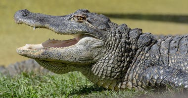 "12 Foot Gator ""Taken Into Custody"""