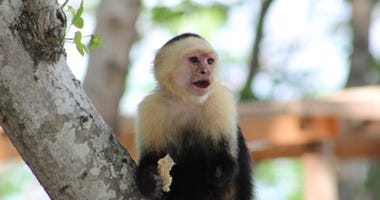 Man arrested with capuchin monkey