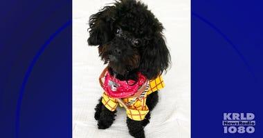 Emotional Support Poodle Oliver