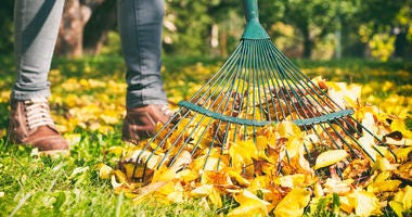 raking up autumn leaves