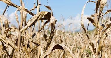Drought, corn field