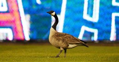 Rally Goose