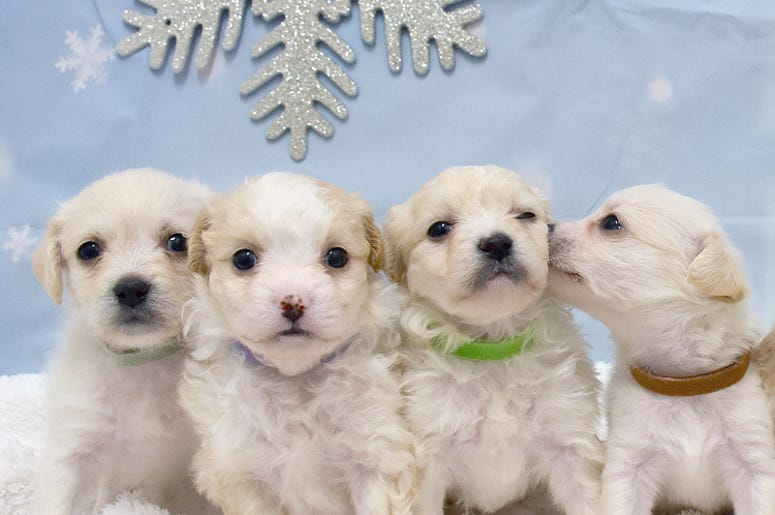 Snows Pups