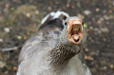 angry goose