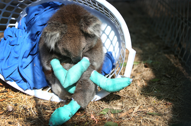 KOALA WITH BANDAGES ON PAWS