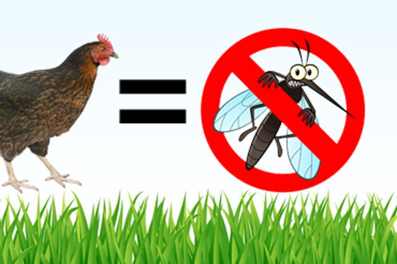 chicken keep mosquito away
