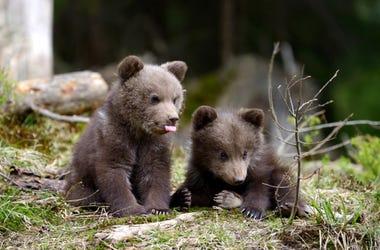 Bear_Cub