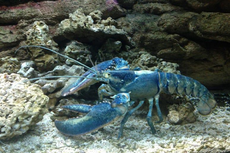 Blue_Lobster