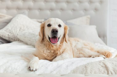 Dog_In_bed