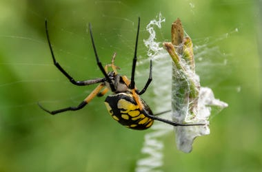 Garden Spider, Black and Yellow, Trap, Grasshopper, Web, Large