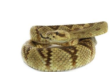 Python snake close up