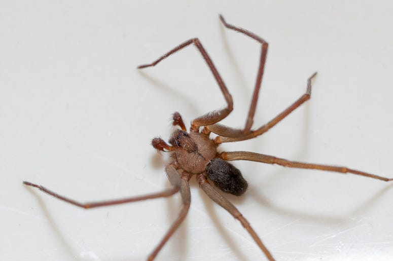 Brown Recluse, Spider, White Background