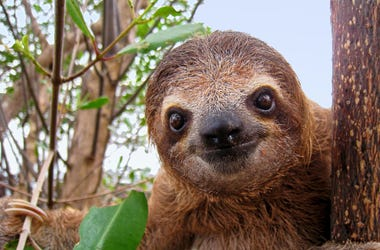 Cute  little sloth facing the camera