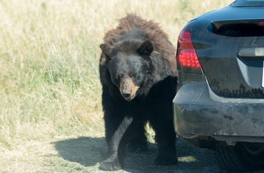 Bear Near A Car