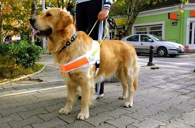 Guide Dog, Seeing Eye Dog, Blind Human, Pet, Owner, Animal, Pup, Dog, Golden Retriever