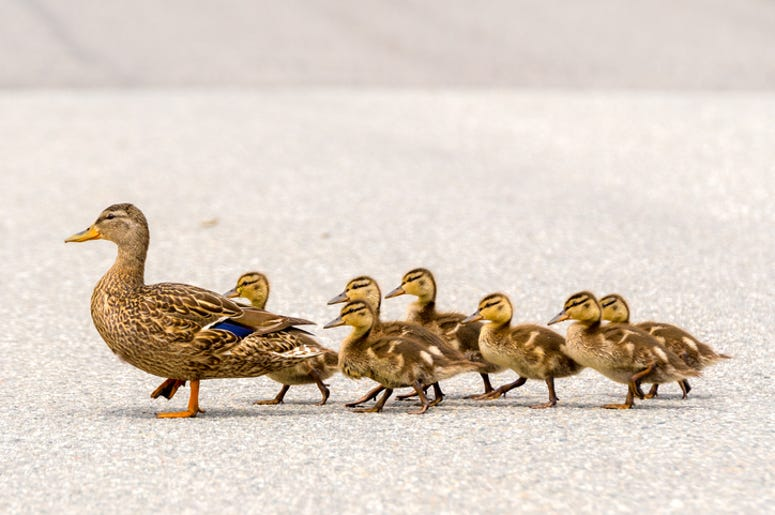 Ducklings and their mama
