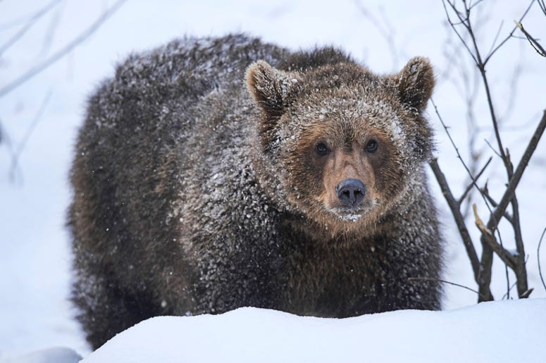 Grizzly_Bear