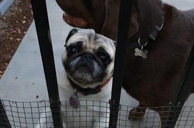 labrador, pug, dogs, love, adopt, california, neighbor