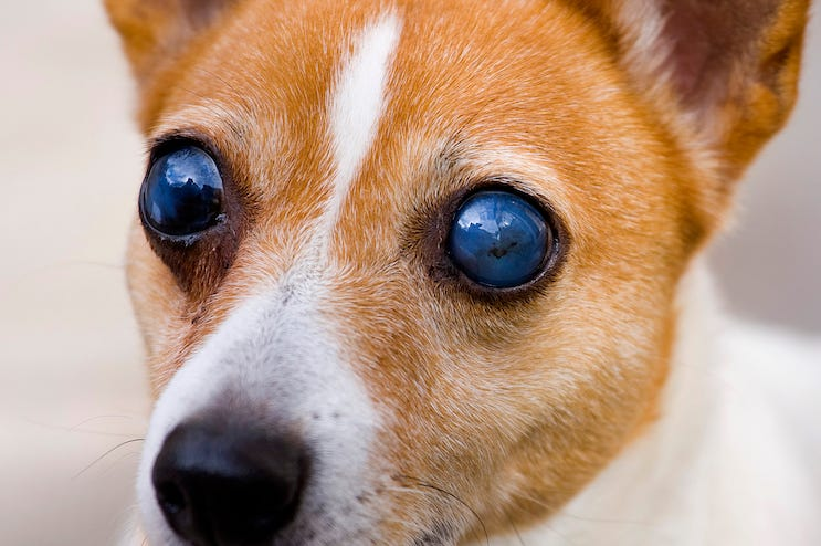 Blind, Dog, Eyes, Terrier, Close Up
