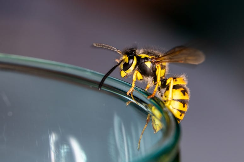 Wasp, Glass
