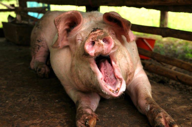 Pig, Pen, Dirty, Mud, Yawn