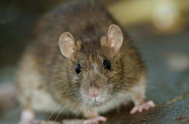 Brown, Rat, Concrete, Floor