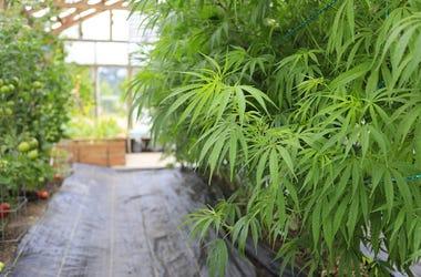 Marijuana, Plant, Grow House