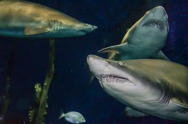 Sand Tiger Sharks, Swimming, Ocean