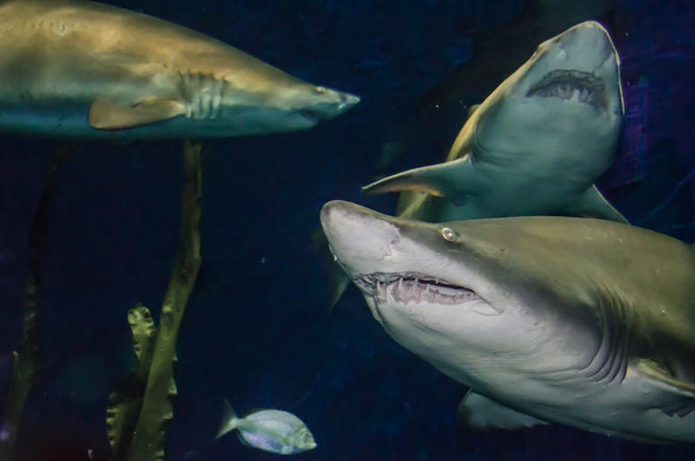 Sand Tiger Sharks, Swimming, Ocean