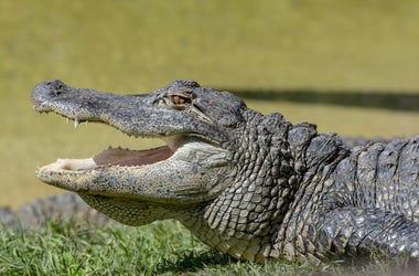 Alligator, Profile, Mouth Open