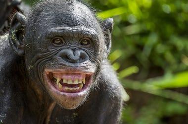 Chimp, Chimpanzee, Smile, Teeth