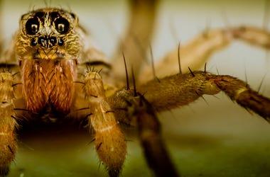 Spider, Close Up, Wolf Spider