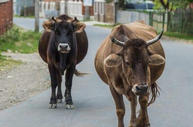 Cows Walk Through The Streets