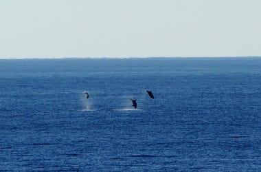 whaes, whale watching, backflips, california