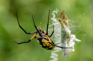Garden Spider, Black and Yellow, Trap, Grasshopper, Web, Large