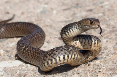 Eastern Brown Snake, Outdoors, Rock, Tongue