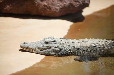 Alligator, Sand, Beach, Water, Resting