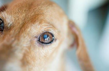 Dog, Puppy, Eyes, Cataract, Sweet, Old, Elderly.jpg