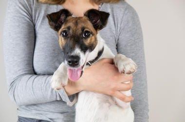 Fox Terrier held by woman