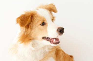 border collie, dog, microphone, interview, smart, funny