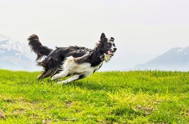 border collie, westminster dog show, agility, verb, fast, dog, jumping, running