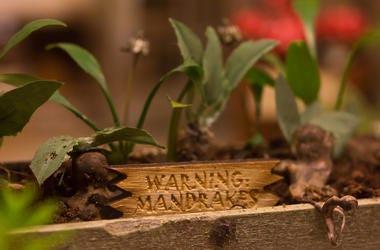 Harry Potter, Mandrake, Root