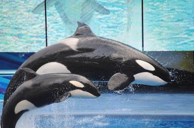 Killer Whales, Orcas, Mom, Baby, SeaWord, Jumping